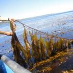 【能源科技】海帶 + 大腸桿菌 = 新能源?