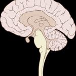 295px-Brain_human_sagittal_section