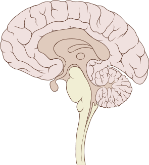 295px-Brain_human_sagittal_section
