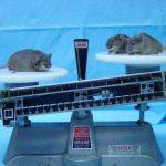 研究發現肥胖與氣喘的基因連繫
