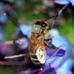 蜜蜂「背上」感應晶片:只為研究自然授粉和蜂群衰竭之謎