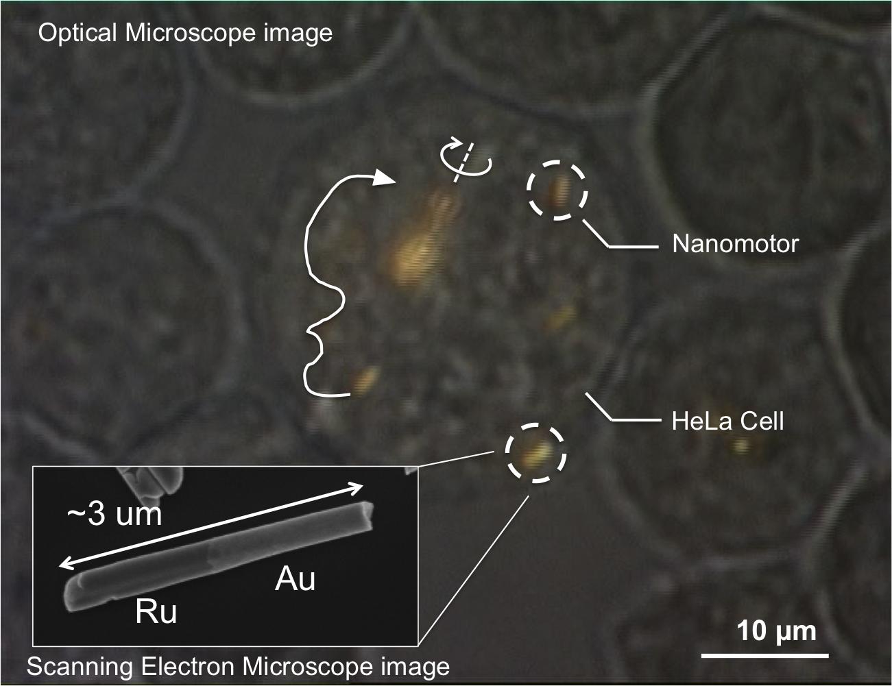 史上首次:科學家在細胞內操控奈米電動機