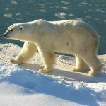 Google 街景 北極熊家園一覽無遺
