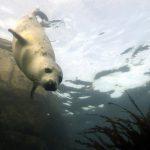 研究:海豹愛去風力發電機附近找食物