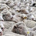 搶攝影師飯碗?Sony 找綿羊直播環法自行車賽