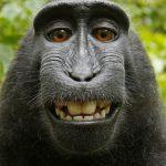 「攝影師」要求維基百科刪除照片遭拒,只因是「獮猴」的自拍照