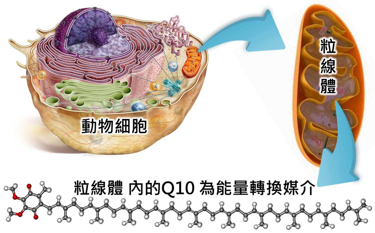 美容之外更重要的事──Q10 與代謝、肥胖的關係