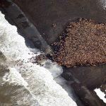 北極海冰消失,35,000 隻海象上岸求生存