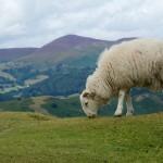 戴上智慧項圈,英國綿羊成了移動的 Wi-Fi 熱點造福偏鄉