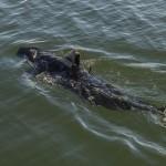 仿真機械鯊,美國海軍新助力
