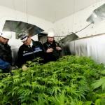 大麻Cannabis。取自FLICKR