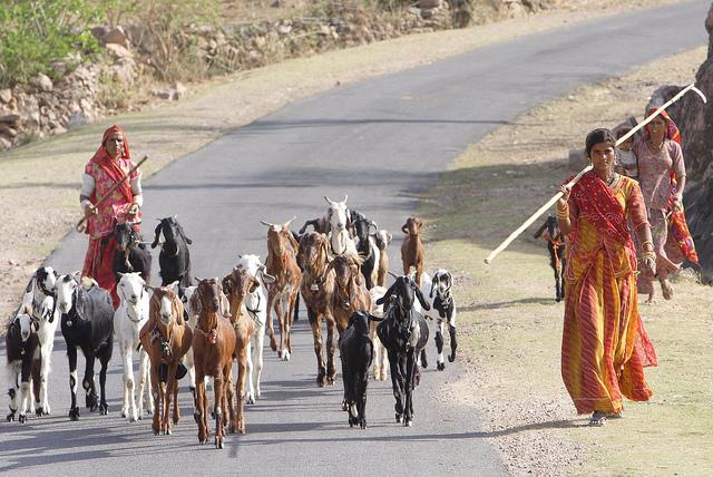 印度線上購物挑戰極限,連活羊也賣
