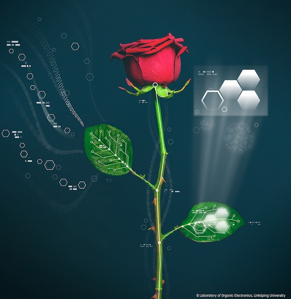 瑞典開發出生化植物,玫瑰花莖葉裡長電路