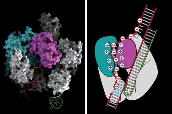 新型的基因編輯技術 CRISPR 將有機會讓科學家進行人體實際測試