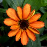 太空中人類的第一朵花!百日菊在國際太空站上綻放