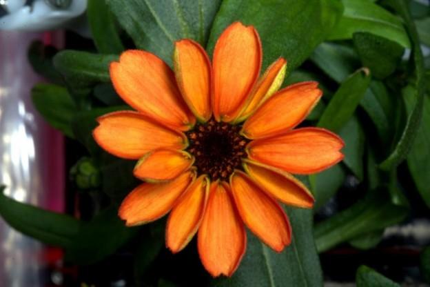 space-flower-zinnia-630x420