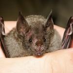最新研究:蝙蝠的免疫細胞恆活躍,將可能改寫高致死率疾病歷史