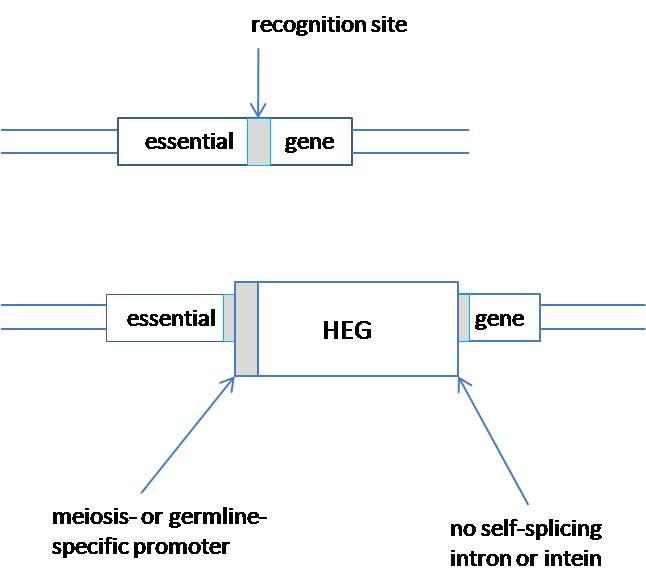 gene-drive-2