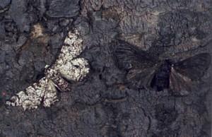 pepper_moth2