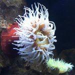 最新研究:海葵將可能成為治療失聰的關鍵