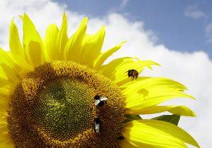 下載自路透 Bees land on a sunflower at a field in Lochhausen near Munich July 11, 2009. Weather forecast predict  sunny weather for southern German state of Bavaria the next week.  REUTERS/Michaela Rehle (GERMANY ENVIRONMENT ANIMALS) - RTR25KDA