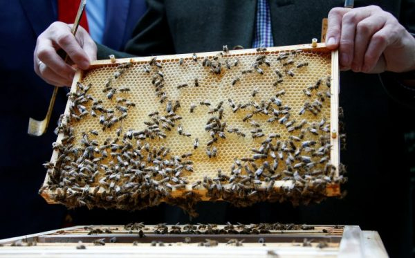 下載自路透 A beehive frame with honeycomb and honeybees is seen during the presentation to the media of tens of thousands honeybees permanently placed in a courtyard of a lower house of the German parliament Bundestag office building in Berlin, Germany, April 25, 2016. REUTERS/Fabrizio Bensch - RTX2BIRC
