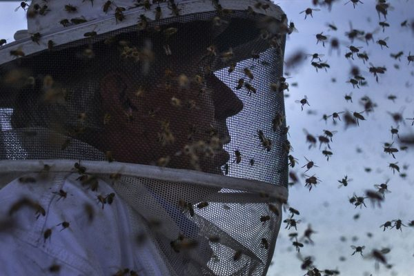 下載自路透 Italian honey bees hover around the suit of beekeeper Robert Harvey as he transfers bee colonies from a blueberry field near Columbia Falls, Maine June 23, 2014. Over recent years, bees have been dying at a rate the U.S. government says is economically unsustainable. Honey bees pollinate plants that produce about a quarter of the food consumed by Americans, including apples, watermelons and beans. A lawsuit has now been filed by environmental groups in the United States seeking an injunction restricting the approval of a controversial class of pesticides known as neonicotinoids, or
