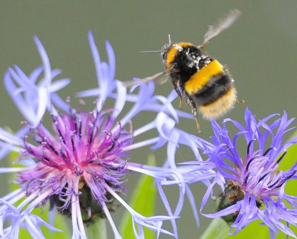 下載自路透 A bumble bee prepares to land on a plant in Boroughbridge, northern England May 26, 2010. REUTERS/Nigel Roddis(BRITAIN - Tags: ENVIRONMENT) - RTR2EDQP