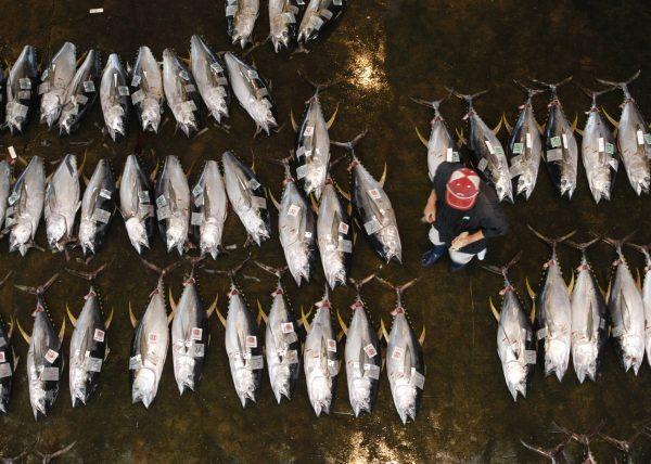 下載自路透 A wholesaler checks the quality of yellowfin tuna laid out in rows during an auction at Katsuura Fishing Port in Nachi-Katsuura Town, central Japan June 5, 2008. The Katsuura Fishing Port, one of Japan