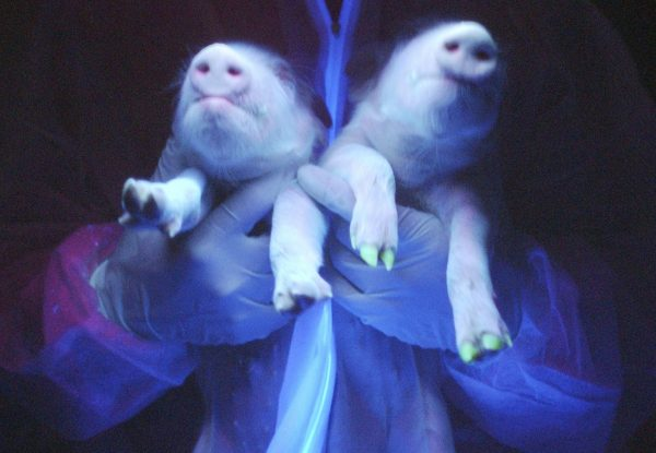 下載自路透 Two transgenic pigs are irradiated under ultraviolet radiation showing their green fluorescence protein (GFP) feature at a hogpen in Harbin, northeast China