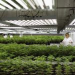 下載自路透 Customer Care Assistant and Production Assistant Marsha McKenna grooms marijuana plant clones at Tweed Marijuana Inc in Smith's Falls, Ontario, February 20, 2014. By unlocking the once-obscure medical marijuana market, Canada has created a fast-growing, profitable and federally regulated industry with a distinct appeal to the more daring global investor. About a dozen producers of the drug will find themselves in the spotlight this year as they consider going public or prepare to so through share sales or reverse takeovers to capitalize on recent regulatory changes, investment bankers said. Tweed Marijuana Inc, which converted an old chocolate factory into a marijuana farm, led the pack by becoming the first publicly held Canadian company in the sector. Picture taken February 20, 2014.    REUTERS/Blair Gable  (CANADA - Tags: HEALTH DRUGS SOCIETY BUSINESS AGRICULTURE) - RTR3TJ5K