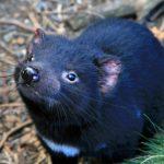 袋獾的乳有機會拯救人類,成為抵抗超級細菌的關鍵