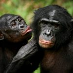 下載自路透 Bonobo apes, primates unique to Congo and humankind's closest relative, groom one another at a sanctuary just outside the capital Kinshasa, Congo on October 31, 2006.   REUTERS/Finbarr O'Reilly/File Photo - RTX2QRB5