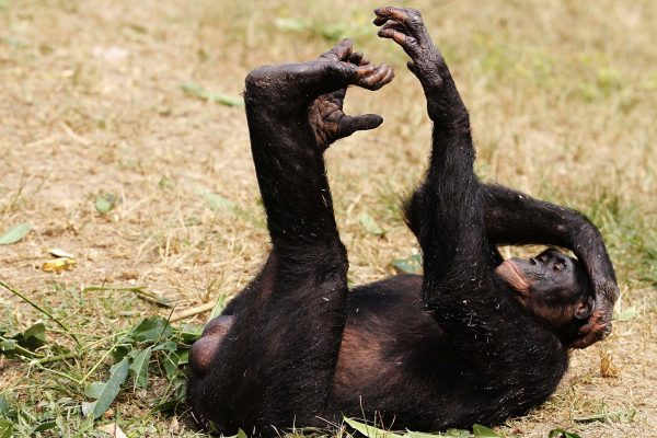 下載自路透 A bonobo lies at the world