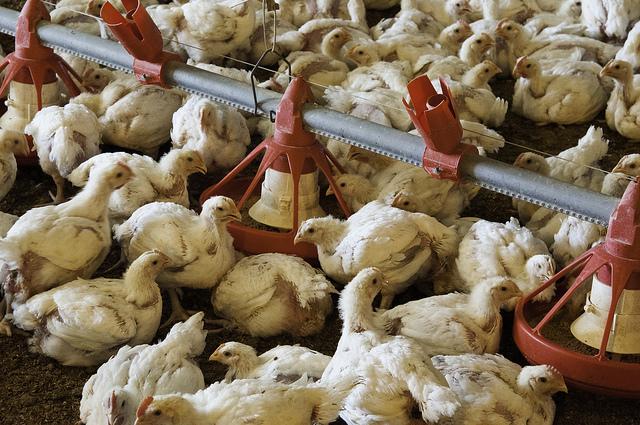 追求換肉效率育種演進,60 年來肉雞體重倍增
