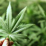 美國毒癮治療單位宣稱大麻可緩解海洛因上癮