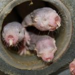 下載自路透 Four naked mole-rats are seen in a University of Illinois at Chicago laboratory in an undated photo released April 20, 2017.   Courtesy of Thomas Park/UIC/Handout via REUTERSTHIS IMAGE HAS BEEN SUPPLIED BY A THIRD PARTY. IT IS DISTRIBUTED, EXACTLY AS RECEIVED BY REUTERS, AS A SERVICE TO CLIENTSFOR EDITORIAL USE ONLY. NO RESALES. NO ARCHIVES - RTS136VC