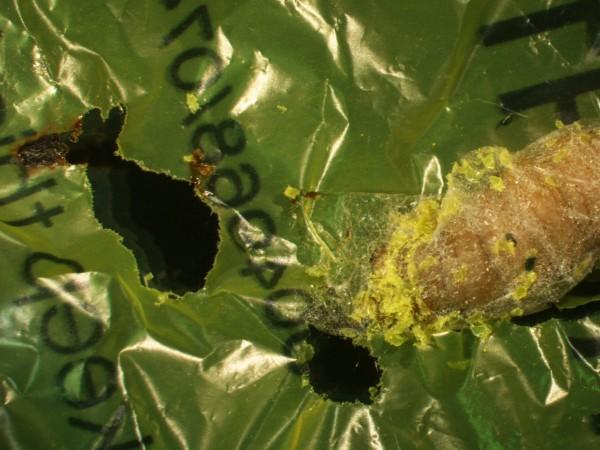 蠟蛾幼蟲吃塑膠,消滅白色污染就靠牠
