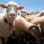 果粉被權威字典列作「羊群效應」解釋例子