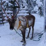 reindeer/Flickr