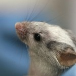 老鼠的睪丸上有味覺接受器,而且如果移除它會造成不孕?