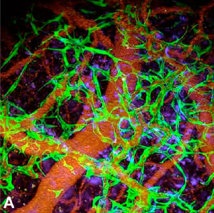 blood vessels in mice brain