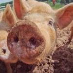 用豬心做心臟移植 跨出成功一大步