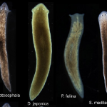 基因真決定一切?科學家誘使某種扁形蟲生長另一種扁形蟲的頭和大腦