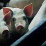 未來人豬換心有望,科學家成功讓豬心在狒狒腹部存活兩年半