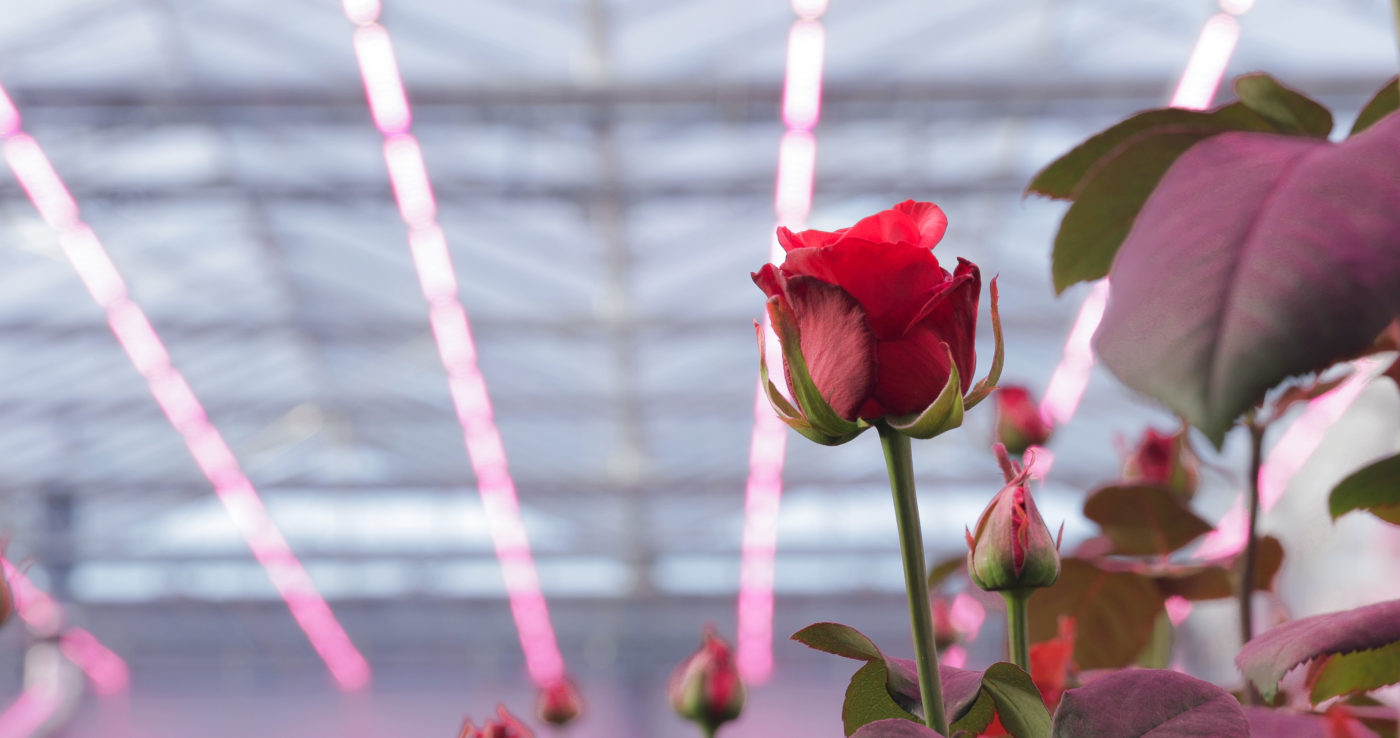 飛利浦照明 LED 燈獨家配方,讓玫瑰花更具商業價值