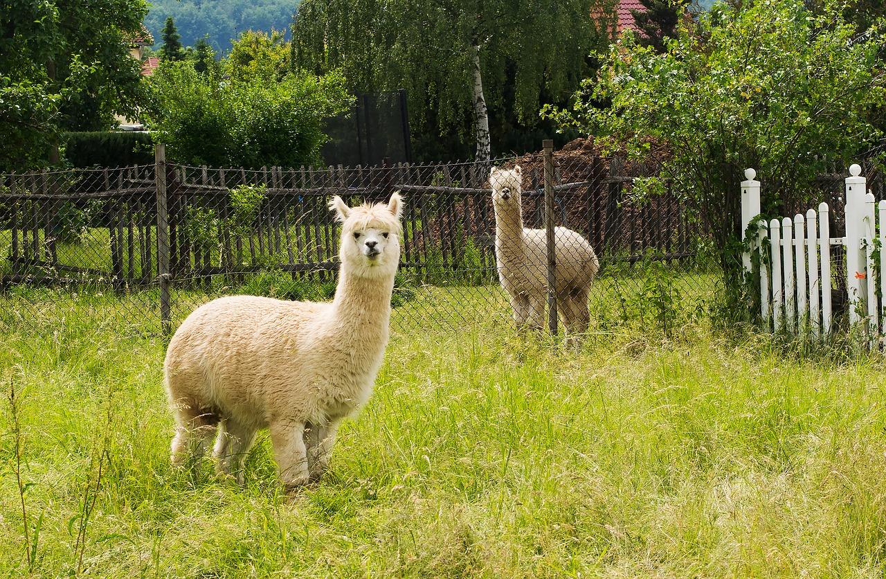 羊駝不只會吐口水,其免疫系統生產之抗體或能抵抗癌症