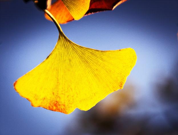 千年老樹:科學家解開銀杏長壽的祕密