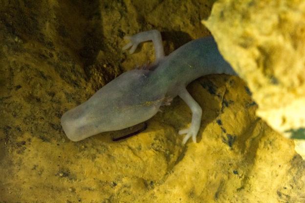 不吃不動安靜的活著,科學家觀察到完全靜止了 7 年的洞螈